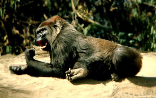 Angry-Gorrilla.jpg