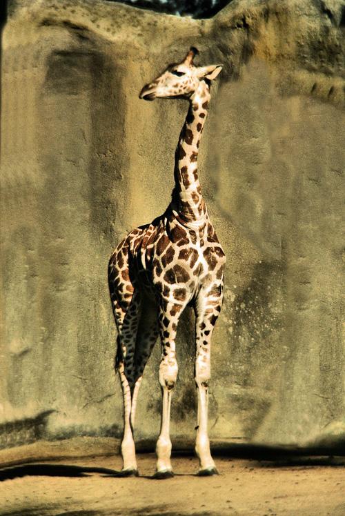 Giraff.jpg