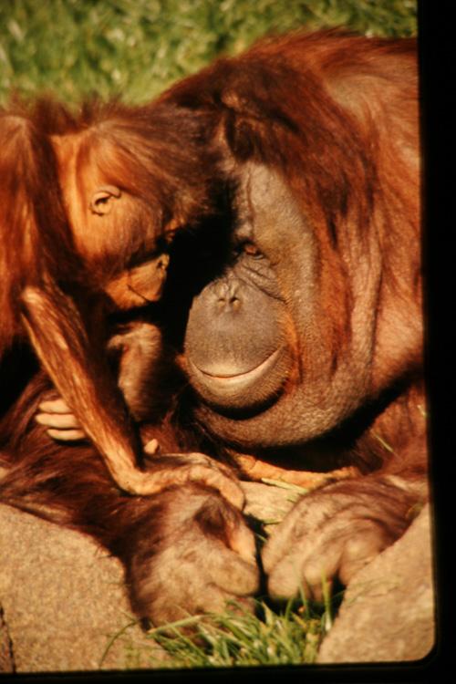 Orangutang---Baby.jpg