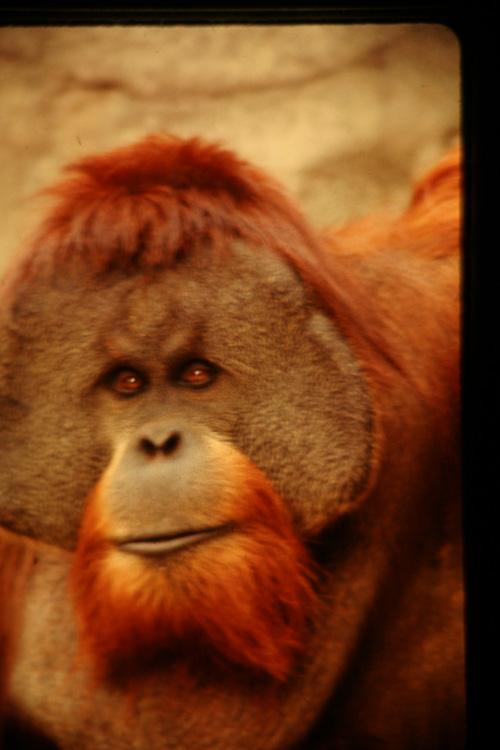 Orangutang-2.jpg