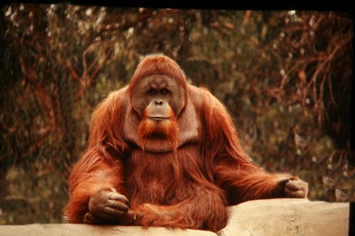 Orangutang-5.jpg