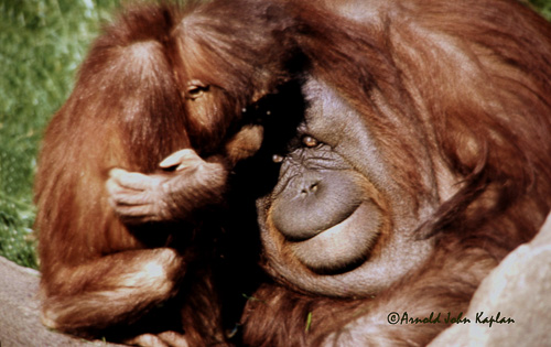 Orangutang-and-Baby--1.jpg