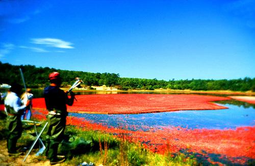 Cranberry-Harvest--2.jpg
