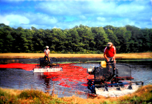 Cranberry-Harvest-3.jpg