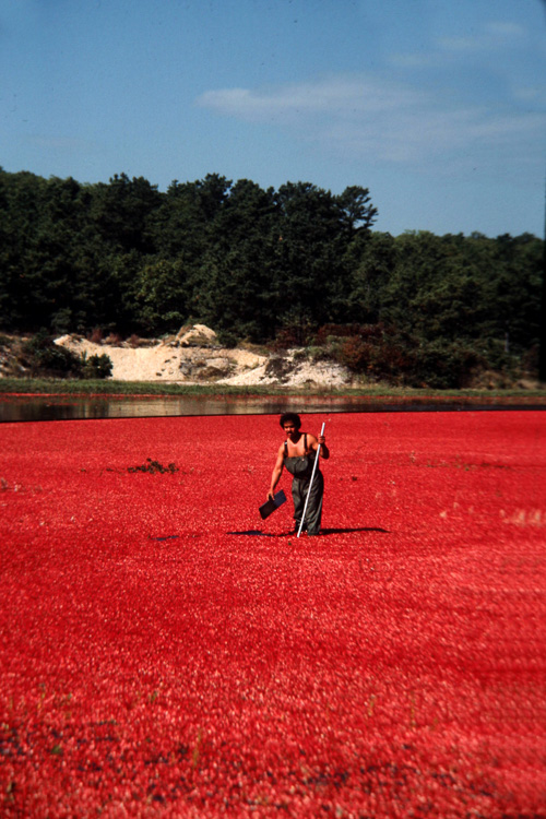 Cranberry-Harvest.jpg