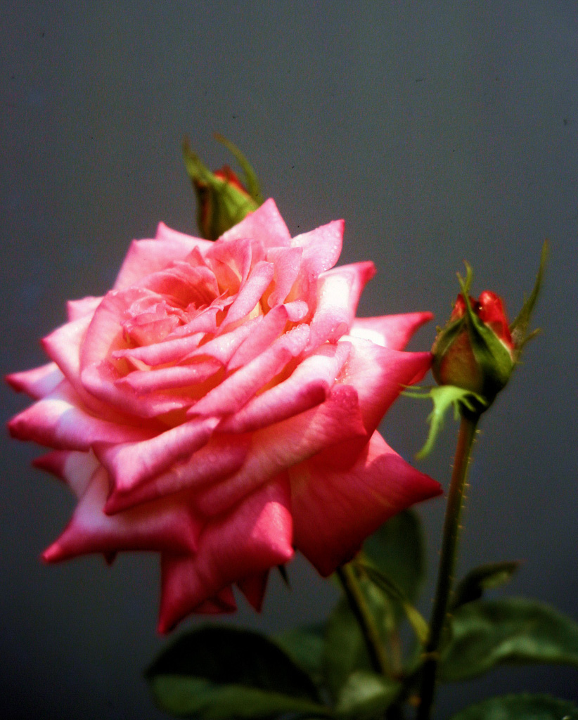 Pink-Rose-Two-Buds-2.jpg