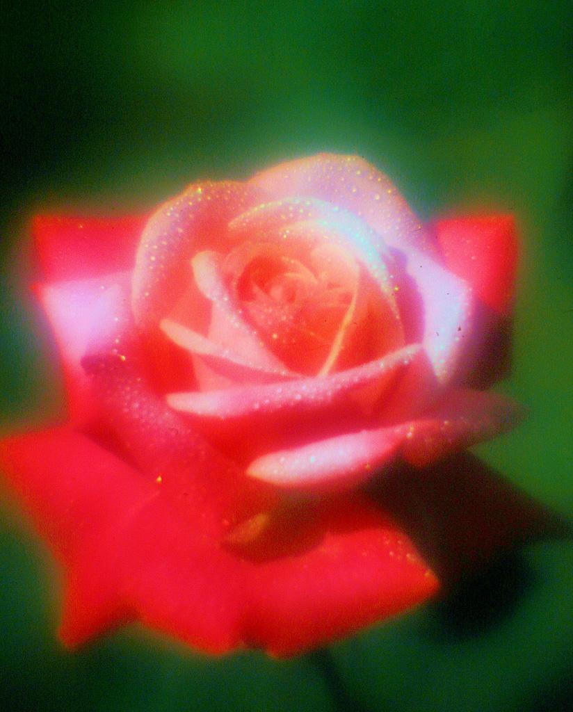 Red-Rose--6.jpg
