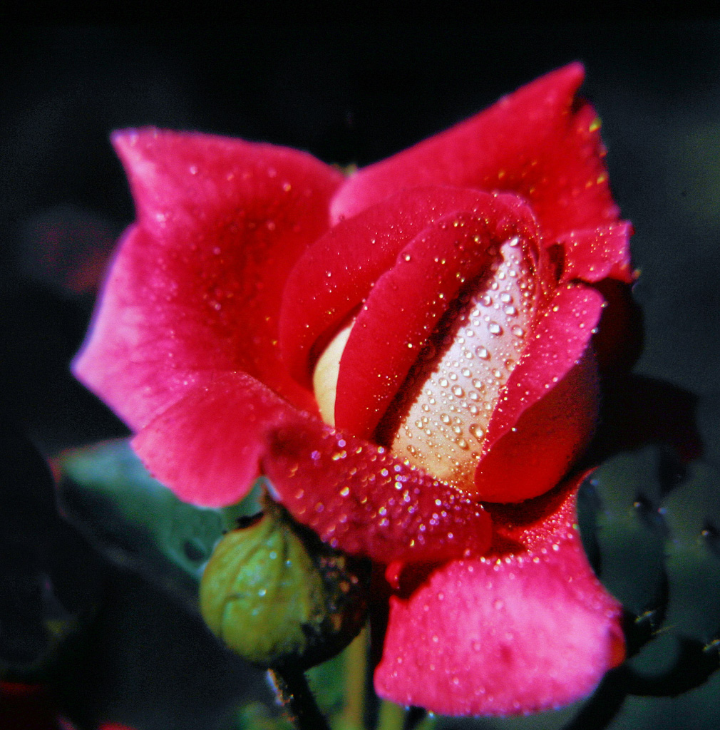 Red-Rose-Bud.jpg