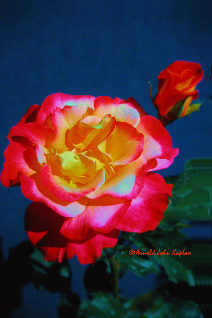 Red-Yellow-Rose.jpg