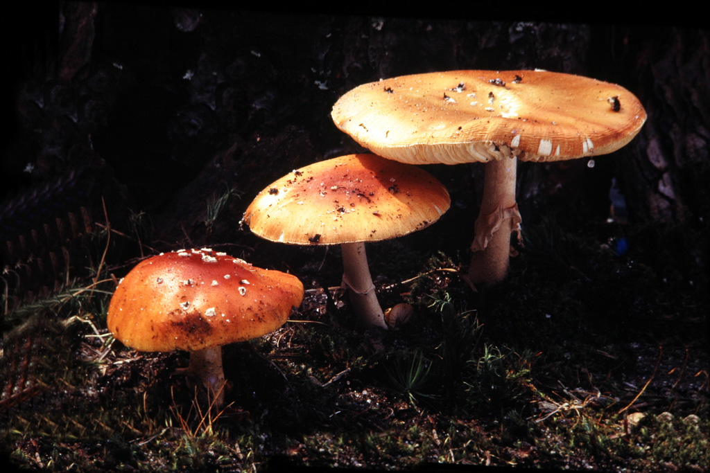 Three-Mushrooms.jpg