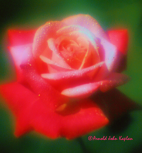Red-Rose--4.jpg