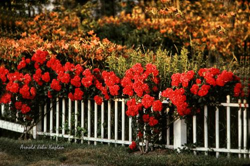 Roses-On-Fence.jpg