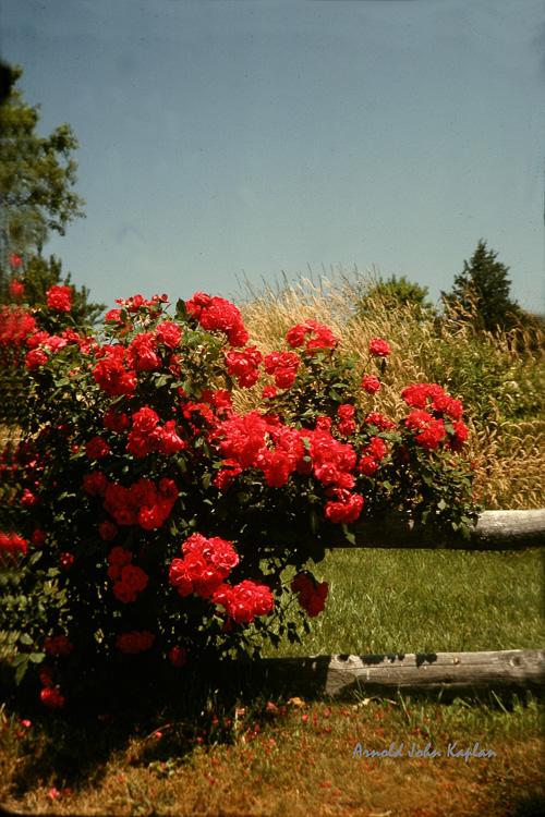 Roses-on-Fence-3.jpg