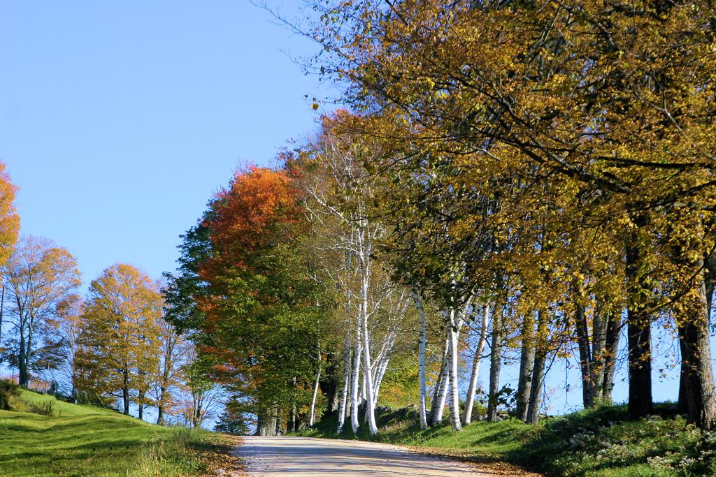 Vermont-Birches.jpg
